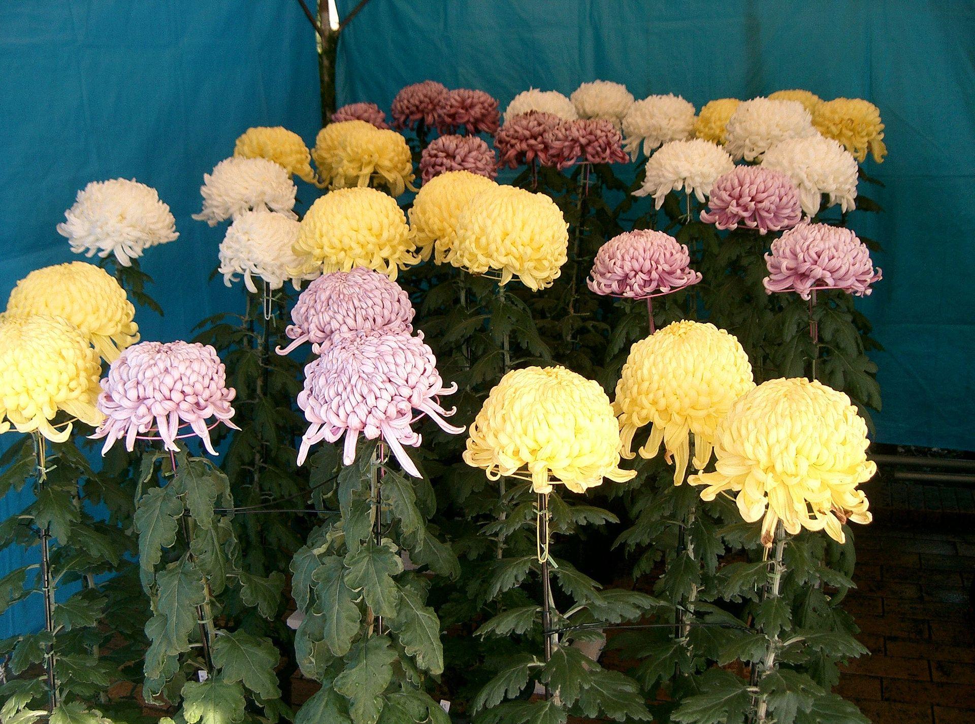 1. Złocień wielokwiatowy – potocznie Chryzantema (Chrysanthemum morifolium)