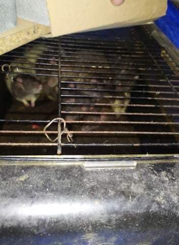 Szczury znalezione w piwnicy w Krakowie