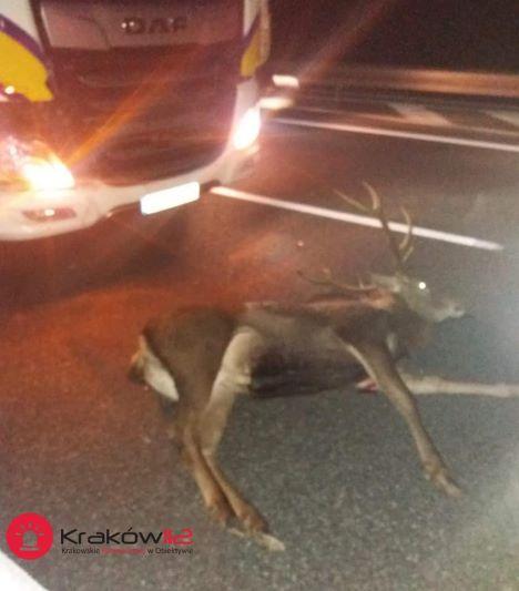 Tragiczne skutki zderzenia auta z jeleniami